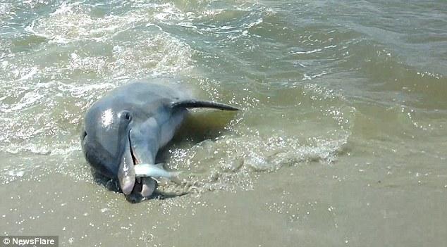 永利网上娱乐国海滩两海豚赶鱼上岸展现高难度捕食技巧
