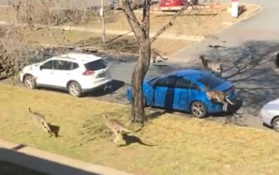 澳堪培拉现袋鼠群集体蹦跳过街觅食场景