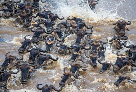逃命之旅!数千角马渡河迁徙从鳄口逃生
