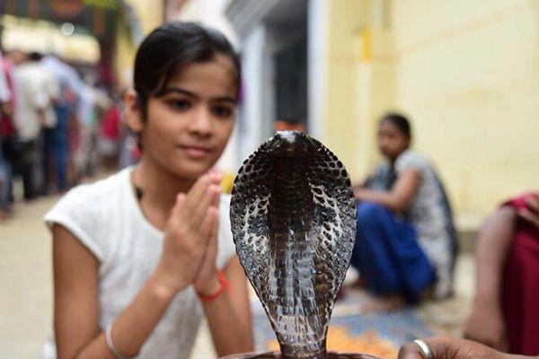 印度信徒在寺庙供奉眼镜蛇 庆祝蛇节