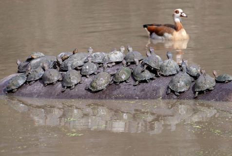"""南非""""心机""""水龟爬到河马背上搭便车"""