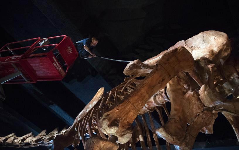 纽约博物馆清洗世界最大恐龙化石