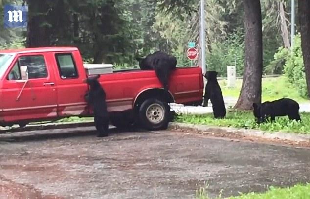 吃货!阿拉斯加黑熊一家爬进皮卡车内偷吃零食