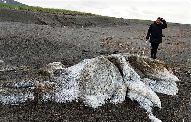 俄白令海岸边冲上巨型毛茸海怪 引网友猜测