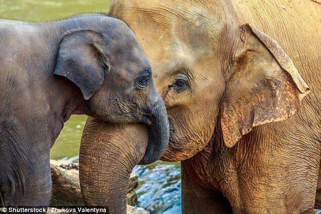 """美国研究:大象体内的""""僵尸基因""""是抗癌关键"""
