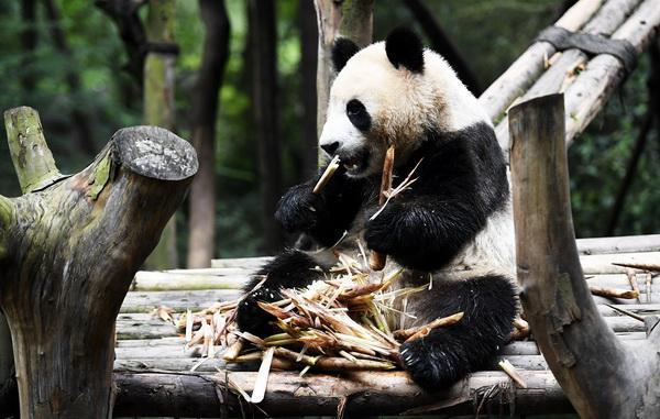 国家林草局:圈养大熊猫保持90%遗传多样性的时间达两百年