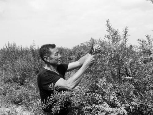 库布其沙漠种植沙棘 实现生态经济双重效益