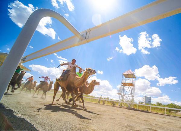 【新时代·幸福美丽新边疆】从交通工具到浑身是宝 新疆骆驼走上产业发展之路