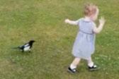 欢乐时刻!英喜鹊追逐蹒跚学步女童与其嬉闹