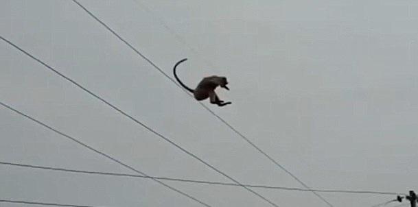 印度一猴子被困50米高输电塔顶一跃而下逃之夭夭