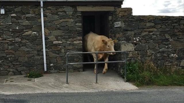 英公牛逃出农场躲进厕所休息惊呆拍摄者