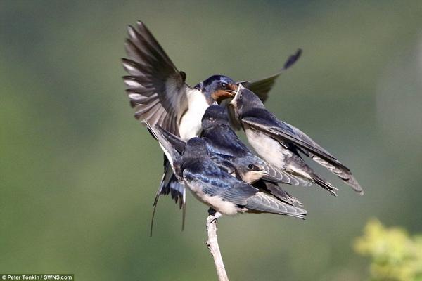 英摄影师抓拍母燕喂食四只雏燕温馨瞬间