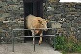 英公牛逃出农场躲进厕所休息