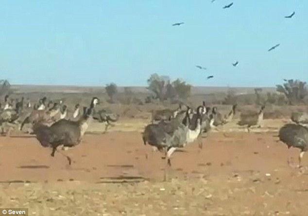 澳大利亚干旱致大量鸸鹋涌入内陆求生