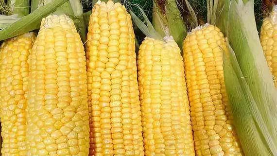 长期看玉米市场将迎来利好