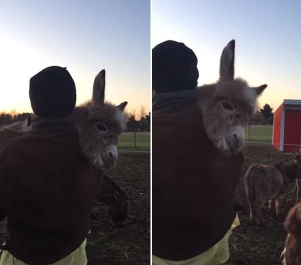 美农民抱小毛驴唱摇篮曲哄睡 温馨画面令人动容