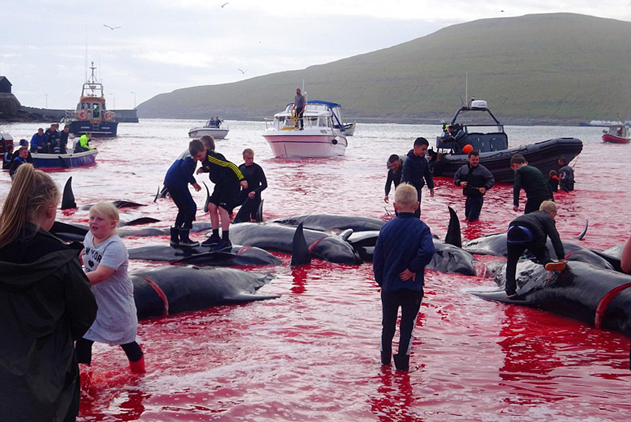 实拍法罗群岛捕鲸活动:鲸鱼尸体遍布血染海湾