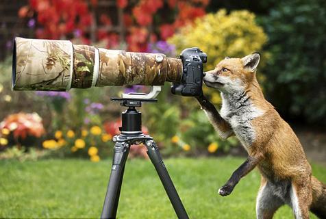 好萌!英摄影师家常客狐狸反客为主爱上摄影