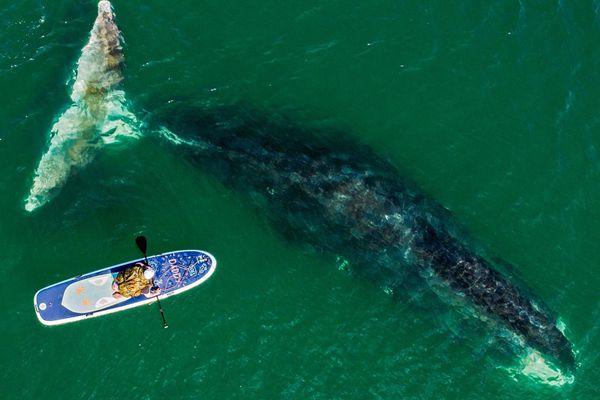 俄罗斯海湾弓头鲸 海洋巨兽与冲浪者同游