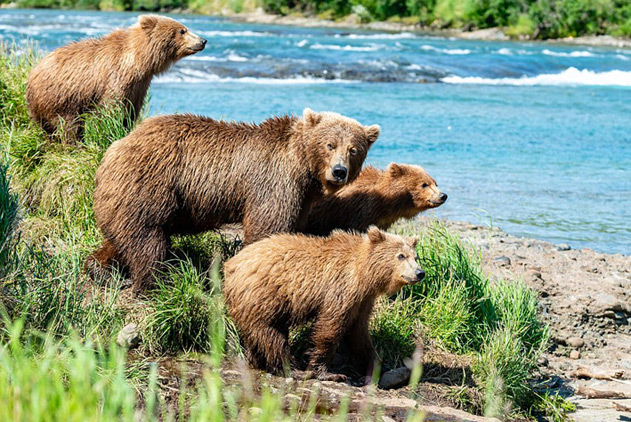 熊出没!摄影师意外捕捉到近百只阿拉斯加棕熊