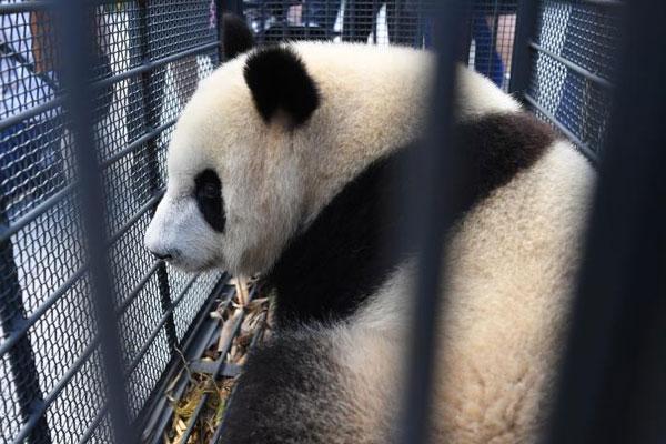 中国首对高纬度地区长期饲养亚成体大熊猫落户长春
