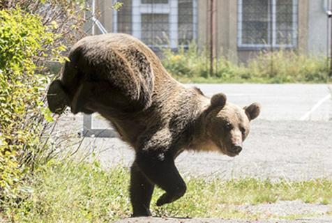 罗马尼亚一棕熊居民区捣乱 翻入学校后被击毙