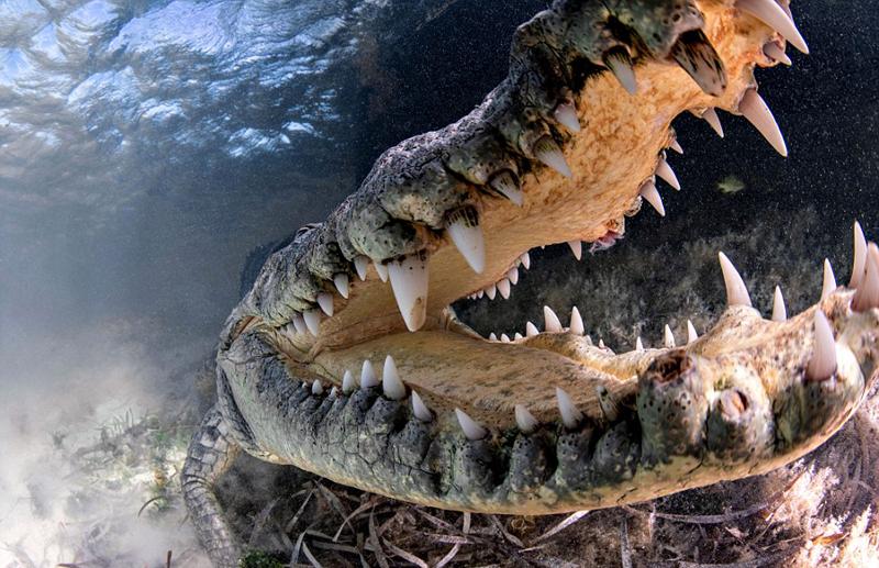 美摄影师与鳄鱼水下亲密互动呼吁保护鳄鱼
