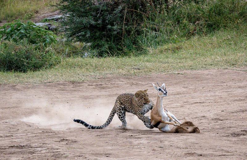 肯尼亚花豹两秒猎杀瞪羚 速度之快令人惊叹