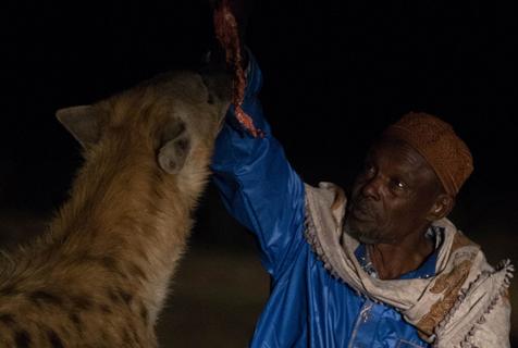 埃塞俄比亚斑鬣狗进城觅食 村民为保牲畜亲手喂养