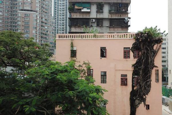"""广州一住宅楼""""长""""出大榕树 与墙体共生近50年"""
