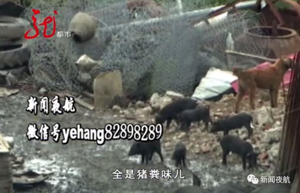 小区楼下开养猪场臭气熏天 环保局:不够500头不管