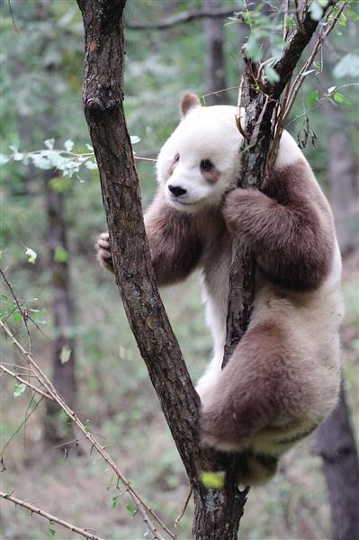 中国大熊猫国际文化周今开幕 全球唯一圈养棕色大熊猫在陕西