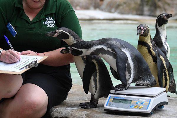 伦敦动物园年度体测 2万只动物开始量身高称体重