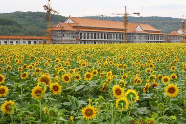 世界最大地下工厂房顶308亩向日葵盛开