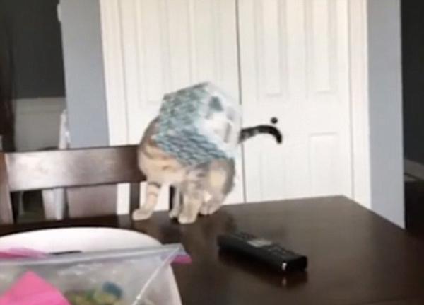 滑稽or残忍?美饲主拍摄猫咪跌落视频引争议