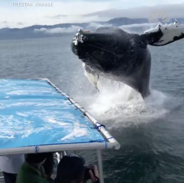 震撼!旅行团偶遇座头鲸跃出水面被溅满身水