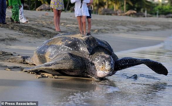 英国野生百年巨龟被发现遭肢解 体积与小船相当