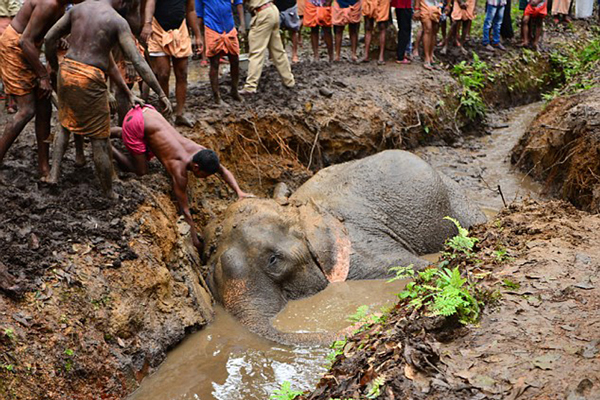 印大象欲喝水陷入泥坑 被两台挖掘机救出
