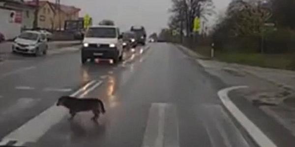 机智!狗狗遵守交规等车停下穿过斑马线