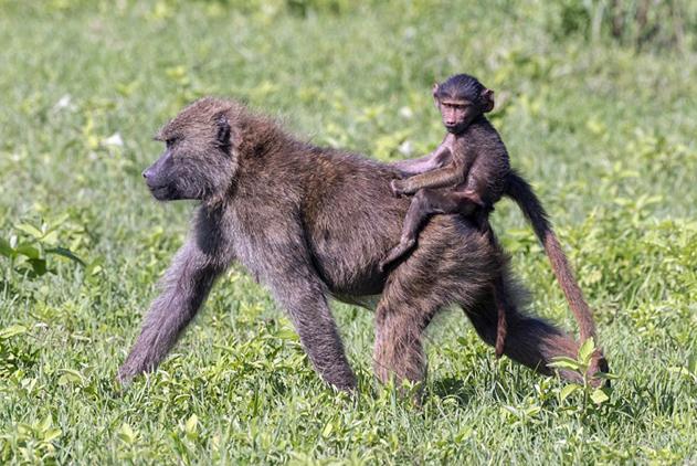 宠上天!坦桑尼亚母狒狒背幼崽行走尽显母爱
