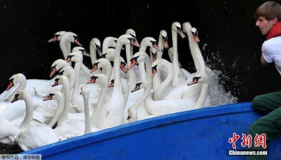 鹅群数量激增失控 加拿大小镇居民用动物模型驱鹅