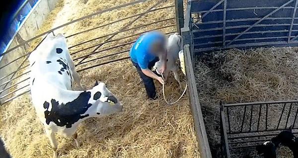 英奶牛场员工残忍对待牛犊 被勒令暂停经营