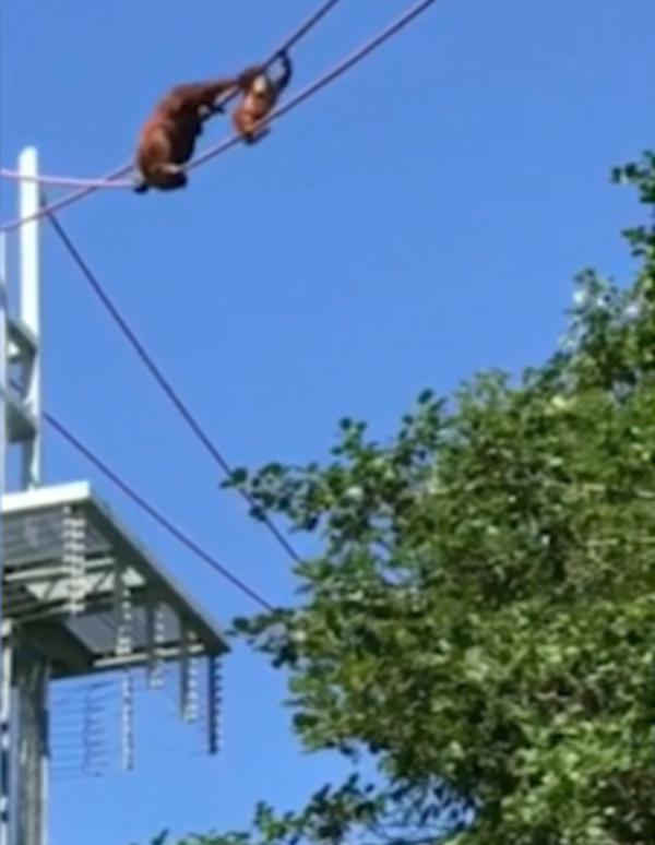 感人时刻!美国一母猩猩背幼崽通过15米高绳索