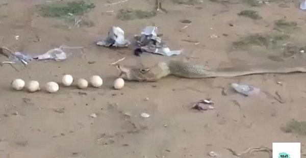 贪多嚼不烂!印度眼镜蛇偷食9颗鸡蛋后反吐出来