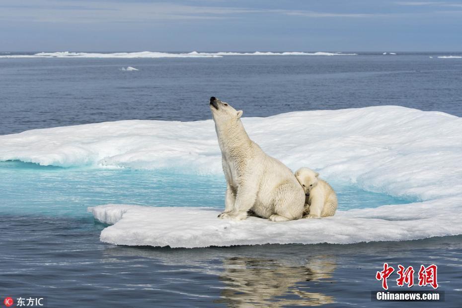 无人机航拍北极熊生存状况 栖息地消退面临威胁