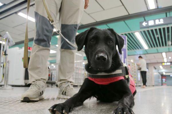 """导盲犬""""亮相""""西安地铁站 首只即将免费交付盲人使用"""