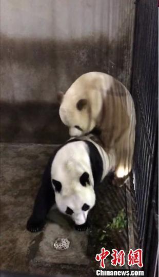 世界唯一圈养棕色大熊猫首次参与自然交配