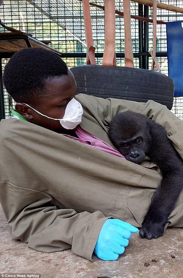喀麦隆小猩猩获救后拥抱饲养员 关系亲密如家人