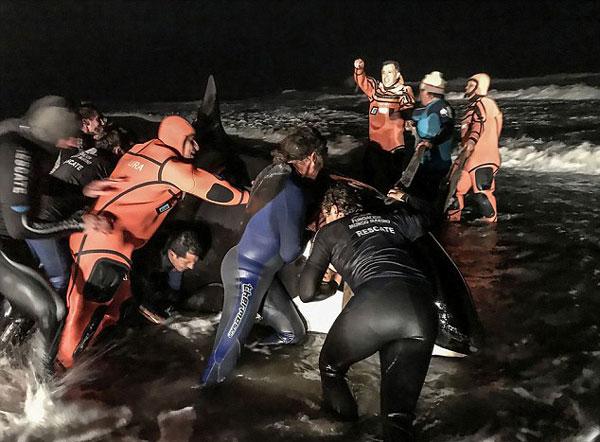感人!阿根廷逾30名志愿者合力送搁浅虎鲸回家
