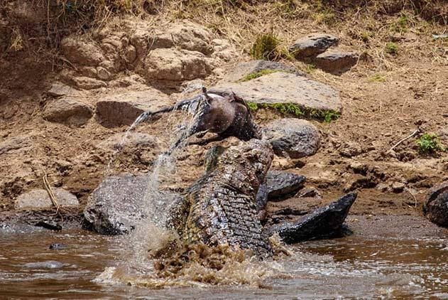 残忍!肯尼亚一鳄鱼捕获角马 狂甩猎物击打岩石